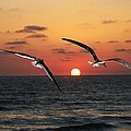 Black Skimmers At Sunset by Tom Janca