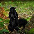 Black Squirrel by Michaela Preston