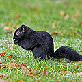 Black Squirrel by Sharon Talson