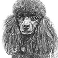 Black Standard Poodle Sketched In Charcoal by Kate Sumners