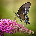 Black Swallowtail by Bill Wakeley
