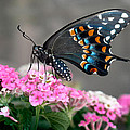 Black Swallowtail Butterfly by David and Carol Kelly