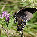 Black Swallowtail Butterfly by Deborah  Bowie