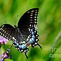 Black Swallowtail Butterfly In Garden by Karen Adams