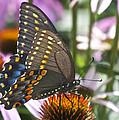 Black Swallowtail Butterfly by Michael Peychich