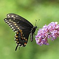Black Swallowtail Butterfly by MTBobbins Photography