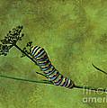 Black Swallowtail Caterpillar by Judi Bagwell