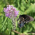 Black Swallowtail by Ericamaxine Price