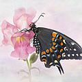 Black Swallowtail Iv by David and Carol Kelly
