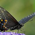 Black Swallowtail On A Buddleia by Bradford Martin