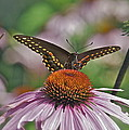 Black Swallowtail On Cone Flower by Michael Peychich