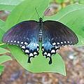 Black Swallowtail On Tulip Poplar by Joe Duket