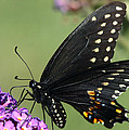 Black Swallowtail by Theo