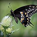 Black Swallowtail Vignette by Rosanne Jordan
