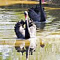 Black Swan 1 by Walter Herrit