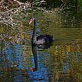 Black Swan 4 by Leticia Latocki