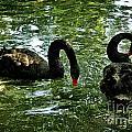 Black Swan Ballet by Bosko Martinovic