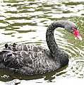 Black Swan Bird Photograph by Tom Conway