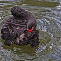 Black Swan Gladys Porter Zoo Texas by TN Fairey