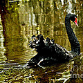 Black Swan Lake by Jeff McJunkin