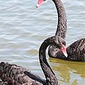 Black Swan Pair by Carol Groenen