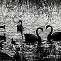 Black Swan Silhouette by Jennie Breeze