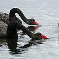 Black Swans Australia by Bob Christopher