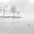 Black Swans Swimming In A Lake by Bijan Studio