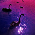 Black Swans by Xuesong Liao