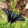 Black Swordtail Butterfly by Judy Whitton