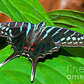 Black Swordtail Butterfly by Millard H. Sharp