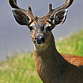 Black Tailed Deer by Jlt Photography