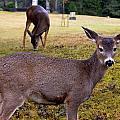 Black-tailed Deer by Nelson Falker