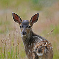 Black Tailed Fawn by Jlt Photography