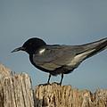 Black Tern by James Peterson