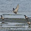 Black Terns by Anthony Mercieca