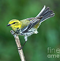 Black-throated Green Warbler, Female by Anthony Mercieca