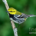 Black-throated Green Warbler, Male by Anthony Mercieca