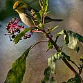 Black-throated Green Warbler by Melinda Fawver