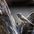 Black Throated Sparrow by Debra Martz