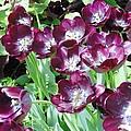 Black Tulips by Karin  Dawn Kelshall- Best