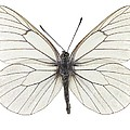 Black-veined White Butterfly by Science Photo Library