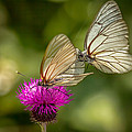 Black-veined White by Lev Paraskevopoulos