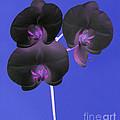 Black Velvet Orchid by Rosemary Calvert