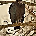 Black Vulture 1 by John Feiser