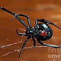 Black Widow Spider by Francesco Tomasinelli