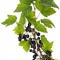 Black Wild Forest Berries by Aleksandr Volkov