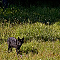 Black Wolf   7251 by J L Woody Wooden