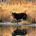 Black Wolf Reflection by Michael Waller