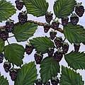 Blackberries by Linda Carmel